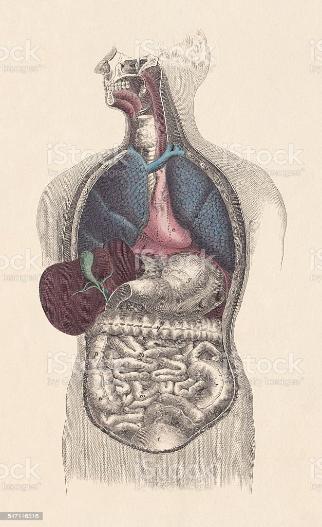 Inner organs of man, hand-coloured engraving, published in 1861 vector art illustration
