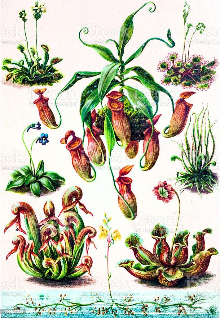 insectivorous plants vector art illustration