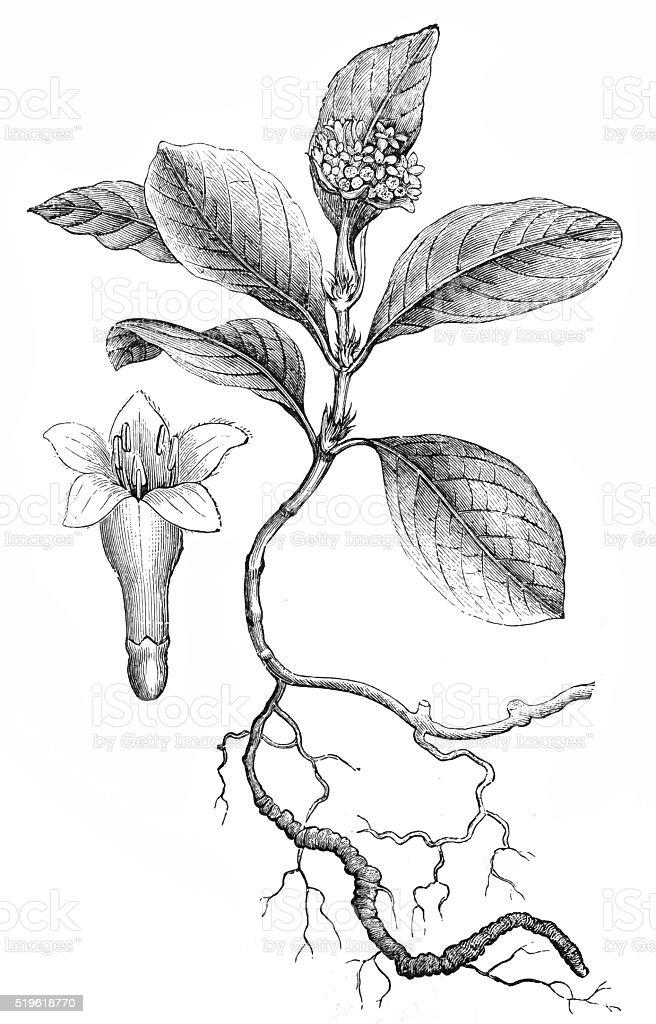 Ipecacuanha (Cephaelis Ipecacuanha) vector art illustration