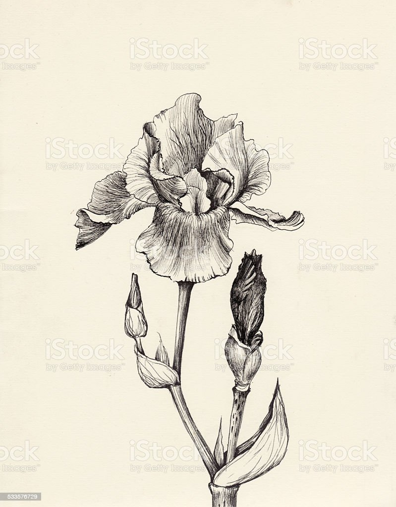Iris flower pen and ink drawing vector art illustration