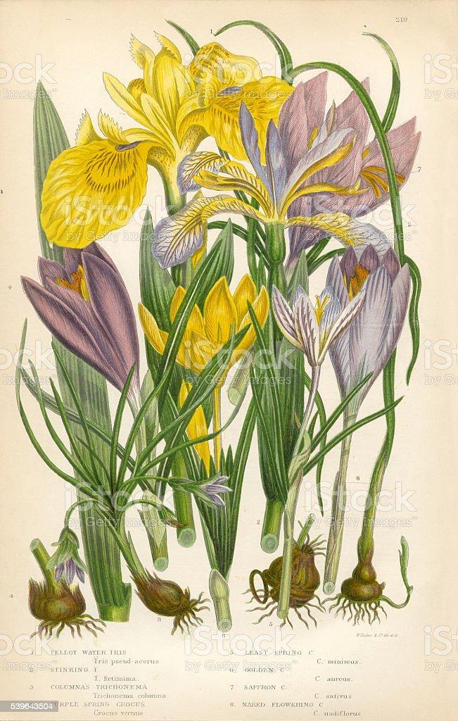 Iris, Water Iris, Trichonema, Crocus, Purple Crocus, Victorian Botanical Illustration vector art illustration