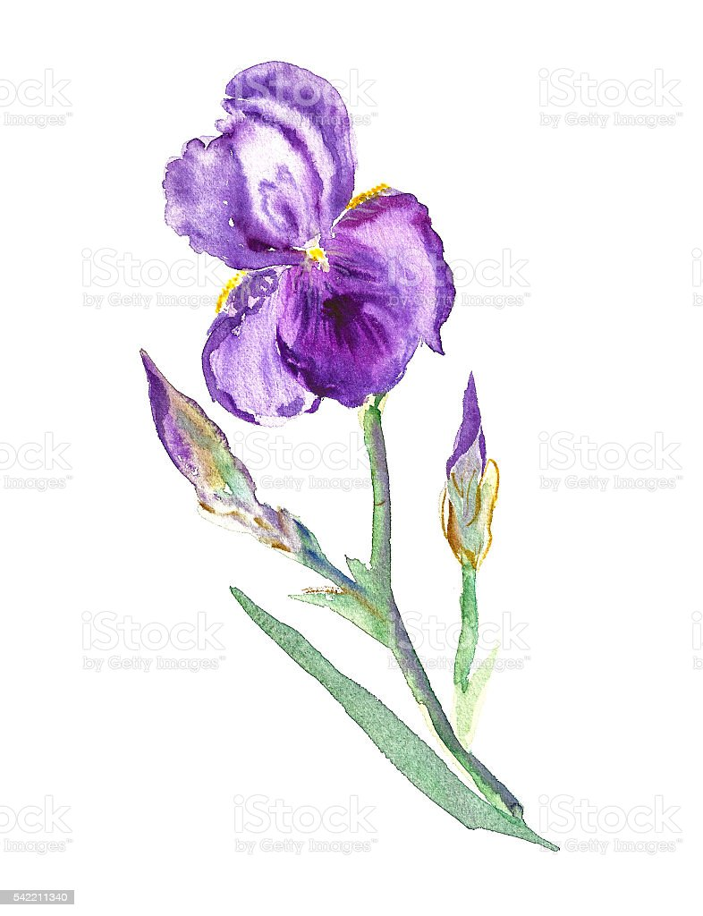Iris watercolor painting vector art illustration