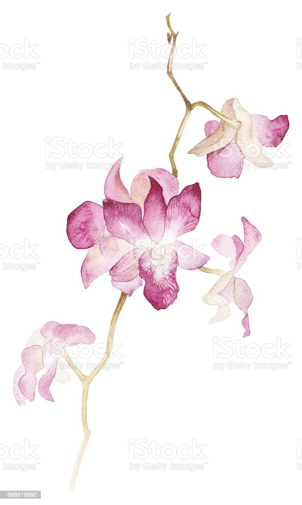 Isolated watercolor orhid branch on white background vector art illustration