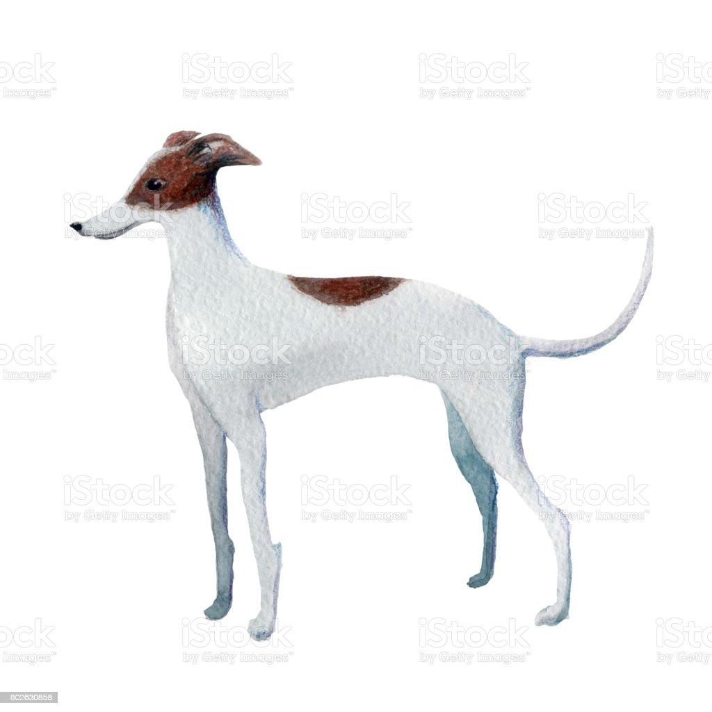 Italian Greyhound vector art illustration