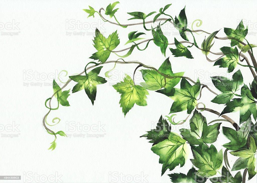Ivy leaves vector art illustration