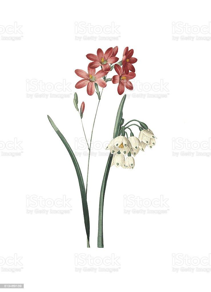 Ixia a fleurs de Phlox and summer snowflake vector art illustration