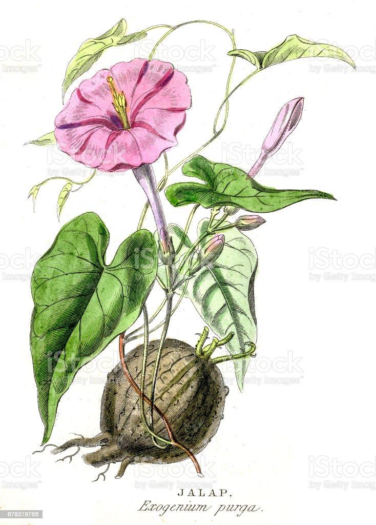 Jalapa botanical engraving 1857 vector art illustration