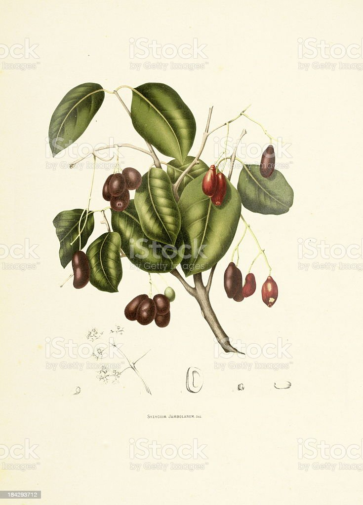 Jambul | Antique Plant Illustrations vector art illustration