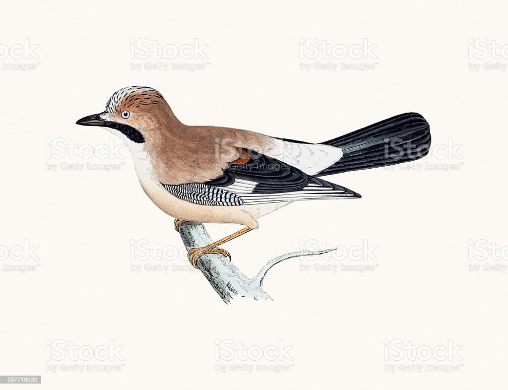 Jay bird of Crow family vector art illustration