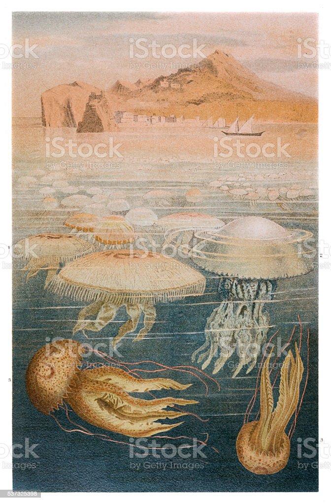 Jellyfish meduse engraving 1897 vector art illustration