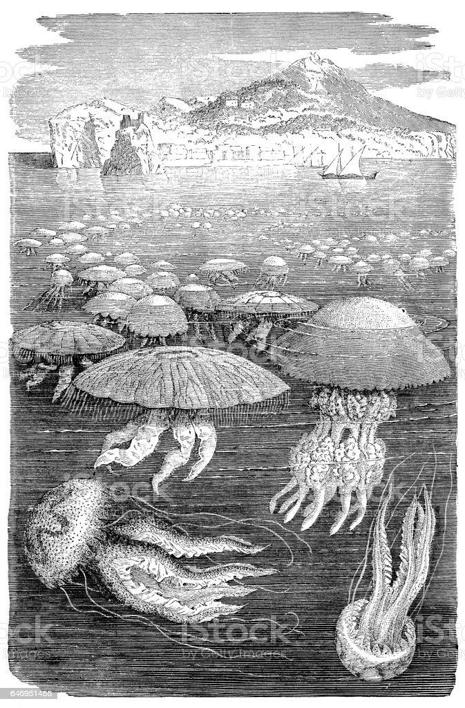 Jellyfish meduse engraving vector art illustration