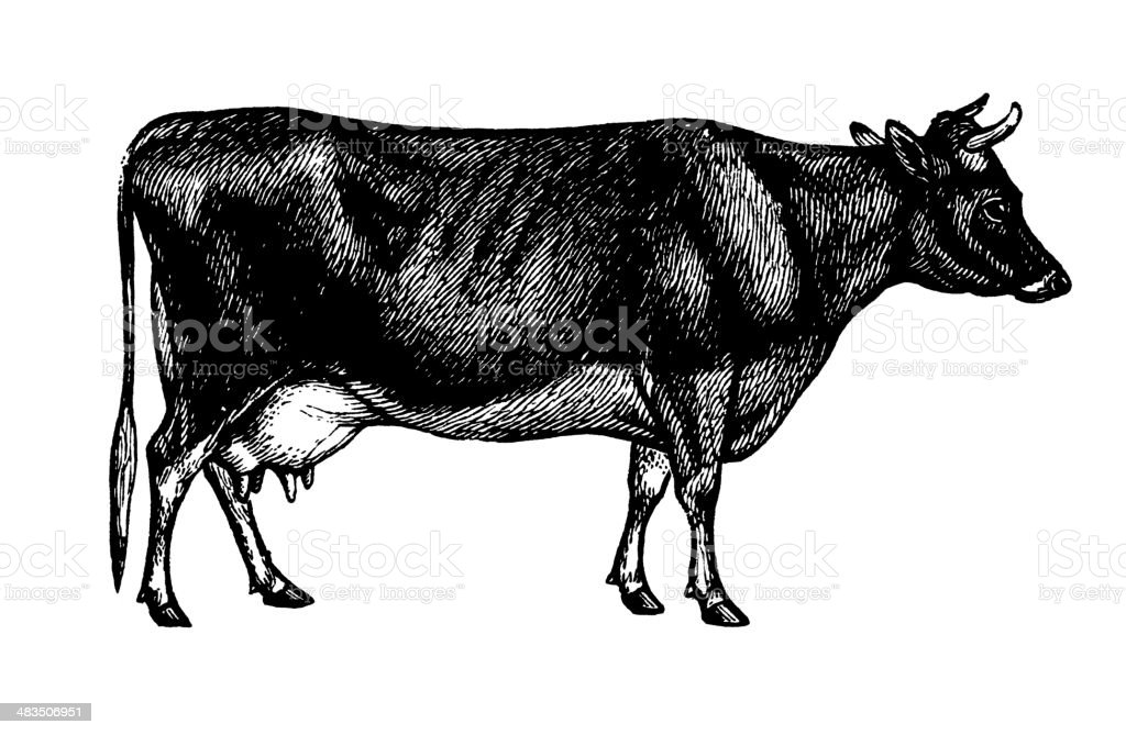 Jersey Cow (Isolated on White) royalty-free stock vector art