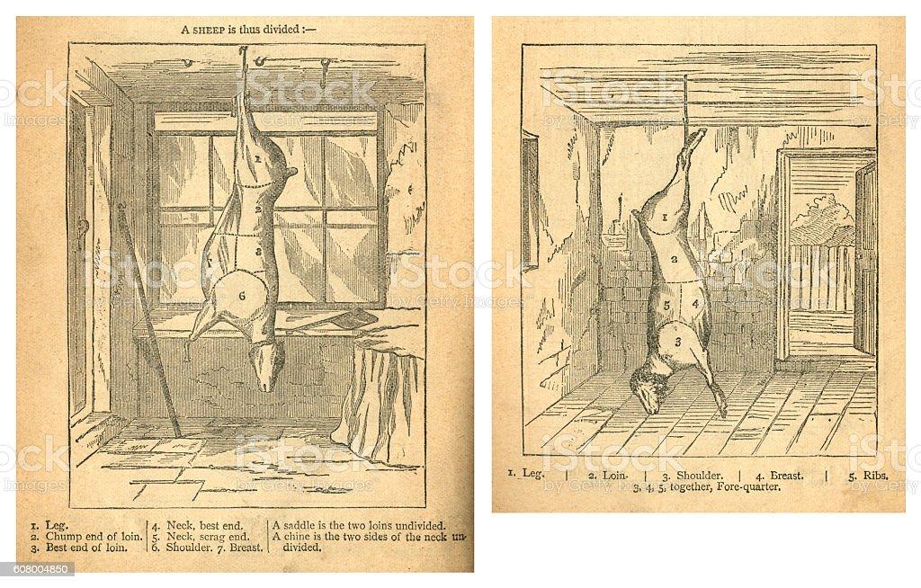 Jointing a sheep - Victorian diagrams vector art illustration