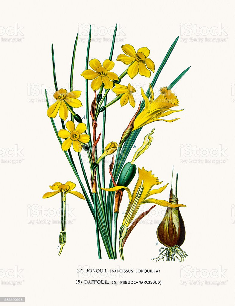 Jonquil (Narcissus) and daffodil vector art illustration