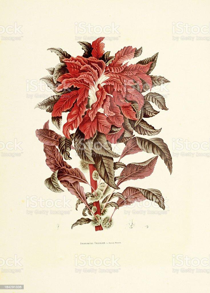 Joseph's coat | Antique Plant Illustrations vector art illustration