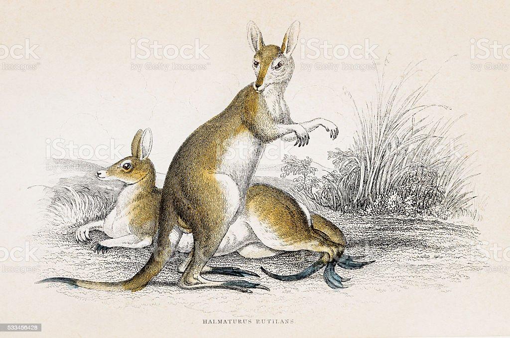 Kangaroo engraving 1855 vector art illustration