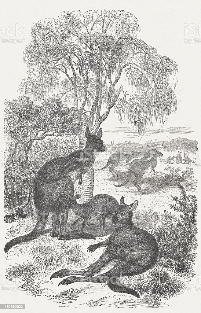Kangaroos (Macropus giganteus), wood engraving, published in 1875 royalty-free stock vector art