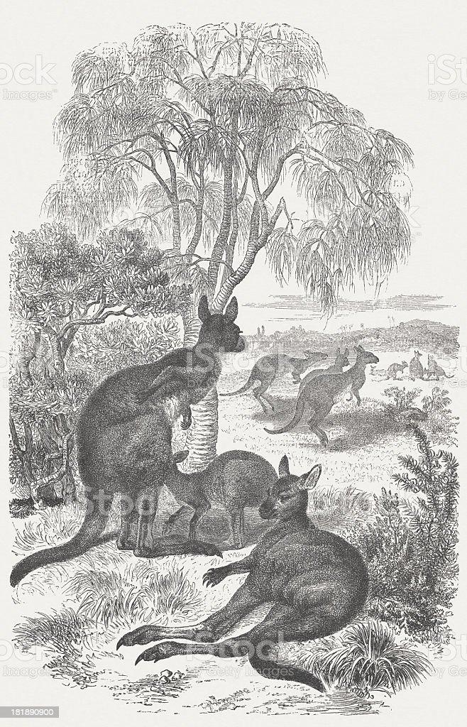 Kangaroos (Macropus giganteus), wood engraving, published in 1875 vector art illustration