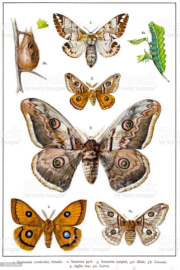 Kentish glory, Emperor and Tau Emperor moths of Europe vector art illustration