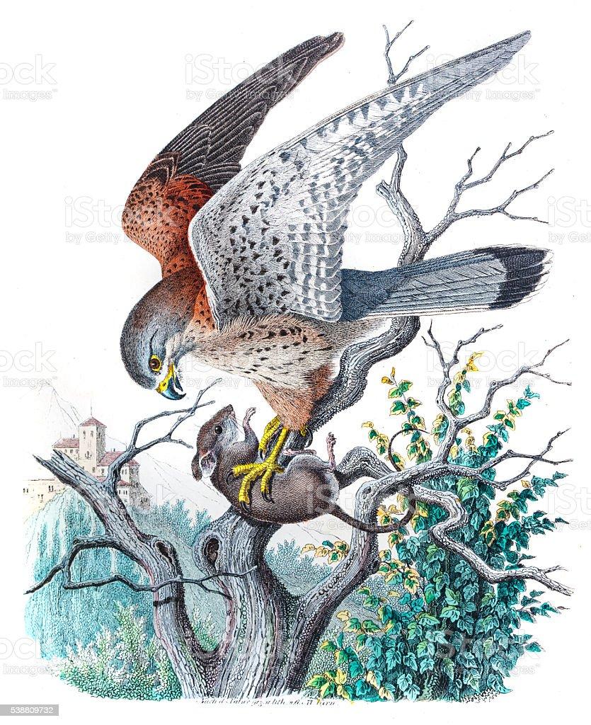 Kestrel falcon engraving 1853 vector art illustration