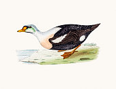 King eider Duck Waterfowl bird