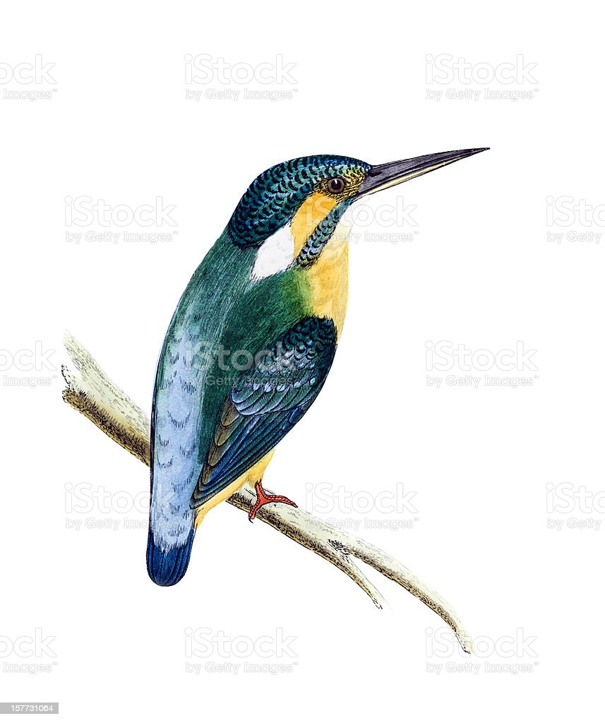 Kingfisher - Hand Coloured Engraving vector art illustration