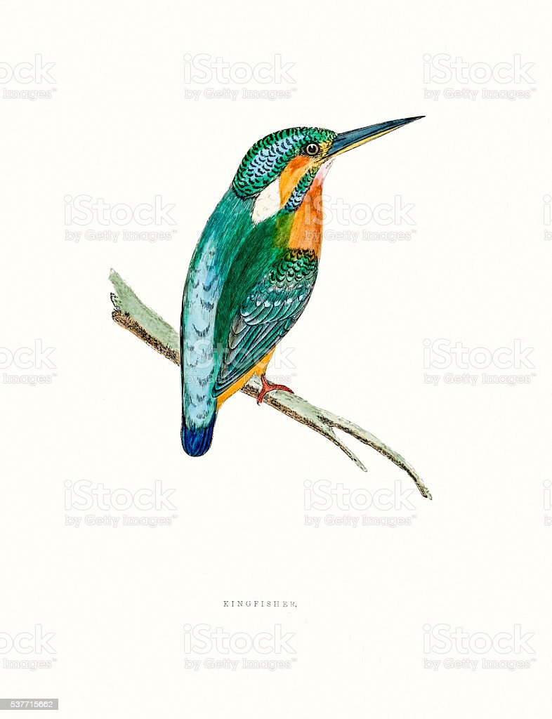 Kingfisher vector art illustration
