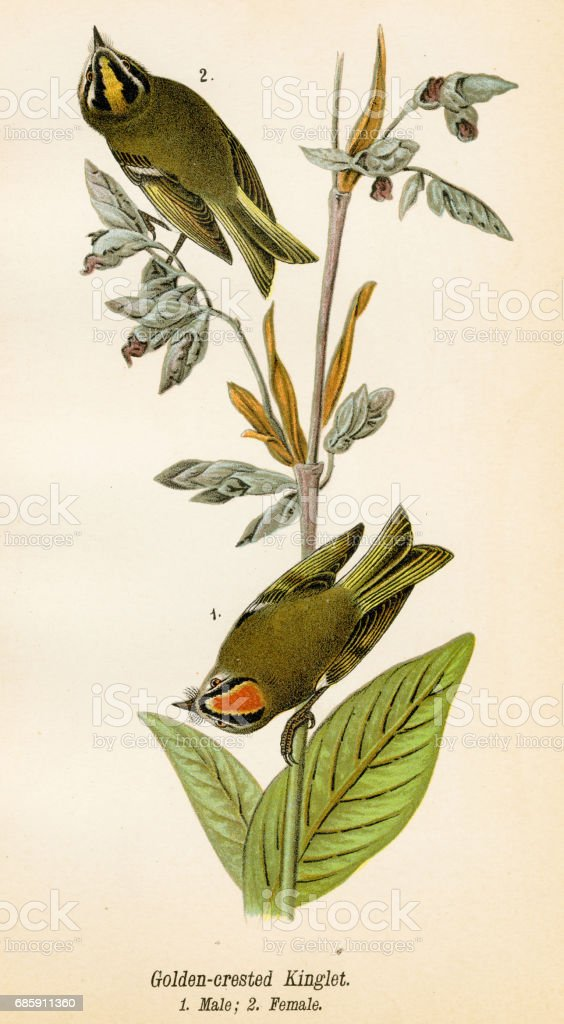 Kinglet bird lithograph 1890 vector art illustration