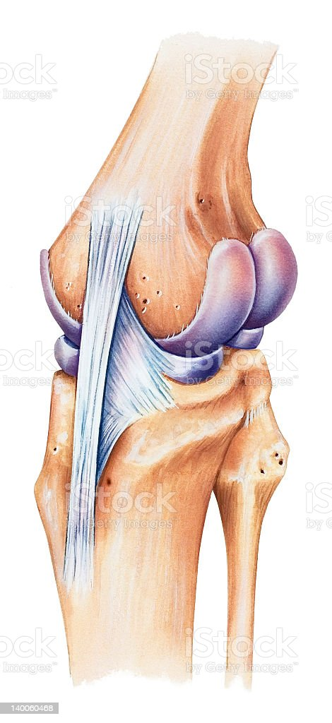 Knee - Dorsal Medial View royalty-free stock vector art