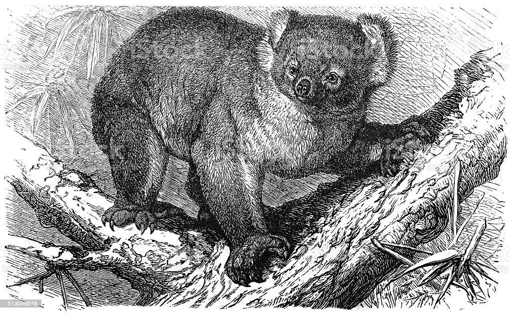 Koala (Phascolarctos cinereus) vector art illustration