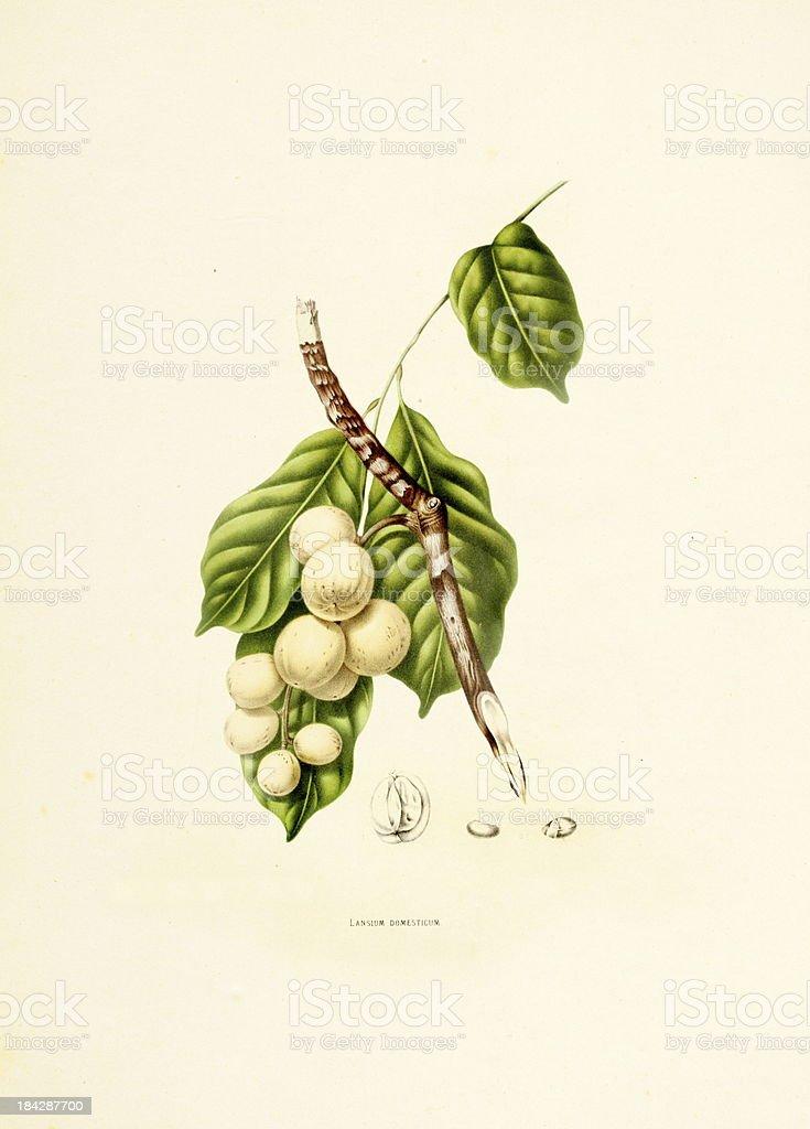 Langsat | Antique Plant Illustrations vector art illustration