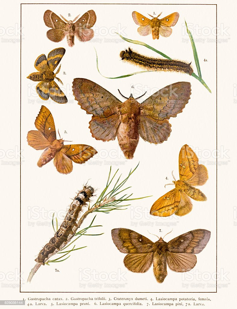 Lappet moths 19 century illustration vector art illustration