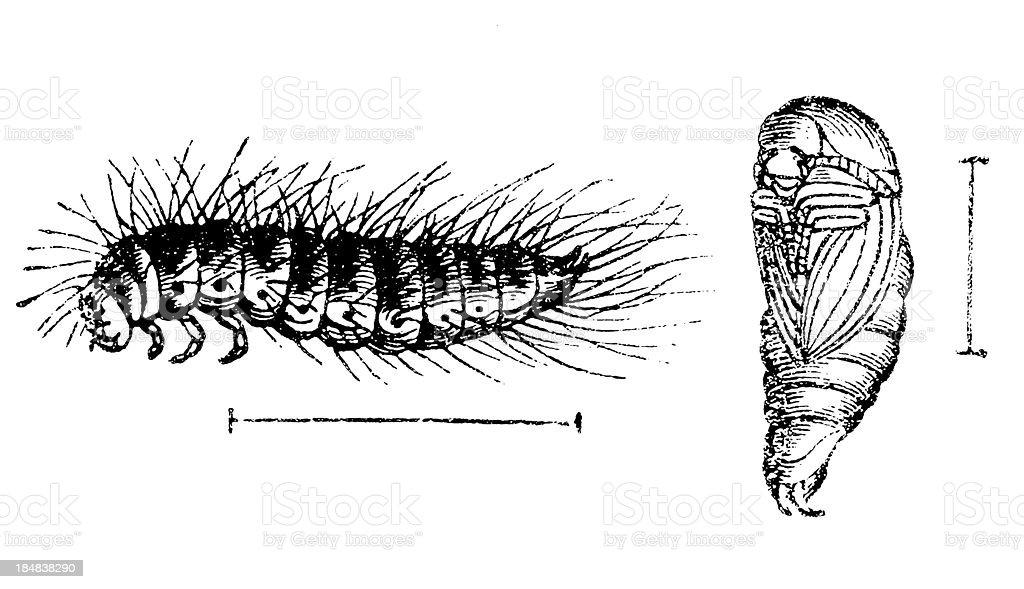Larder Beetle (Dermestes Lardarius) larva royalty-free stock vector art