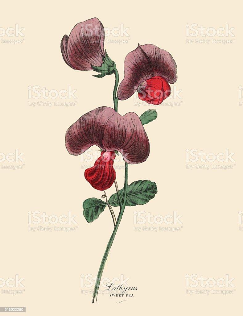 Lathyrus or Sweet Pea and Legume Plant, Victorian Botanical Illustration vector art illustration