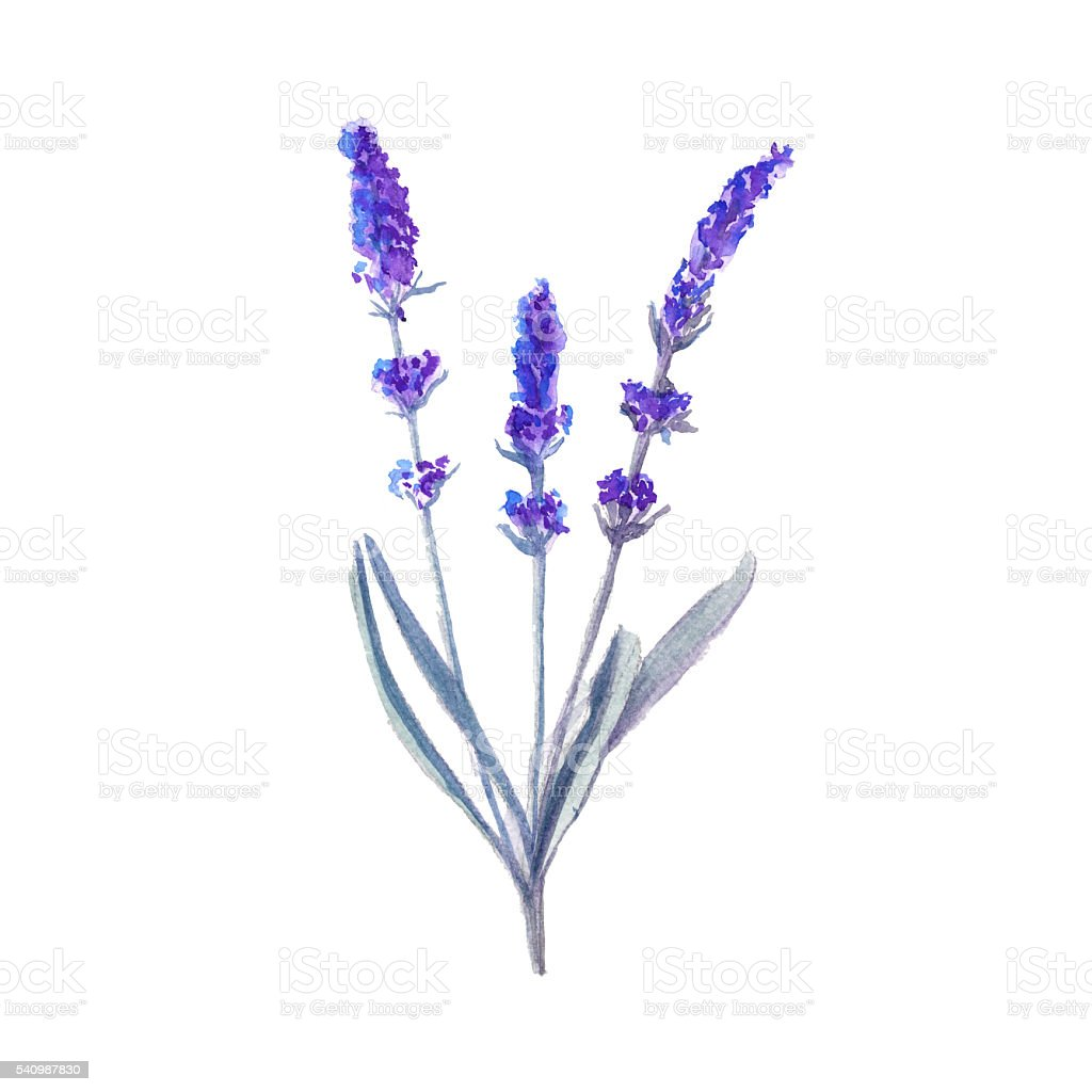 lavender flower. isolated. watercolor illustration vector art illustration