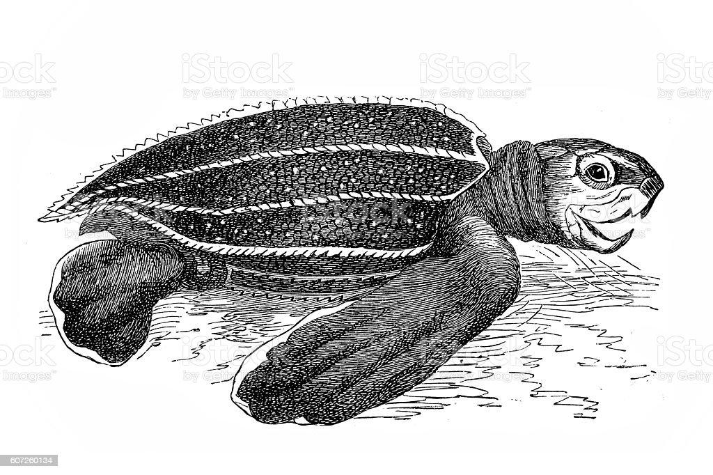 Leatherback sea turtle (sphargis coriacea) vector art illustration