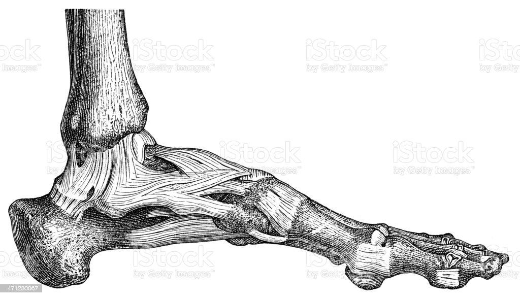 leg royalty-free stock vector art