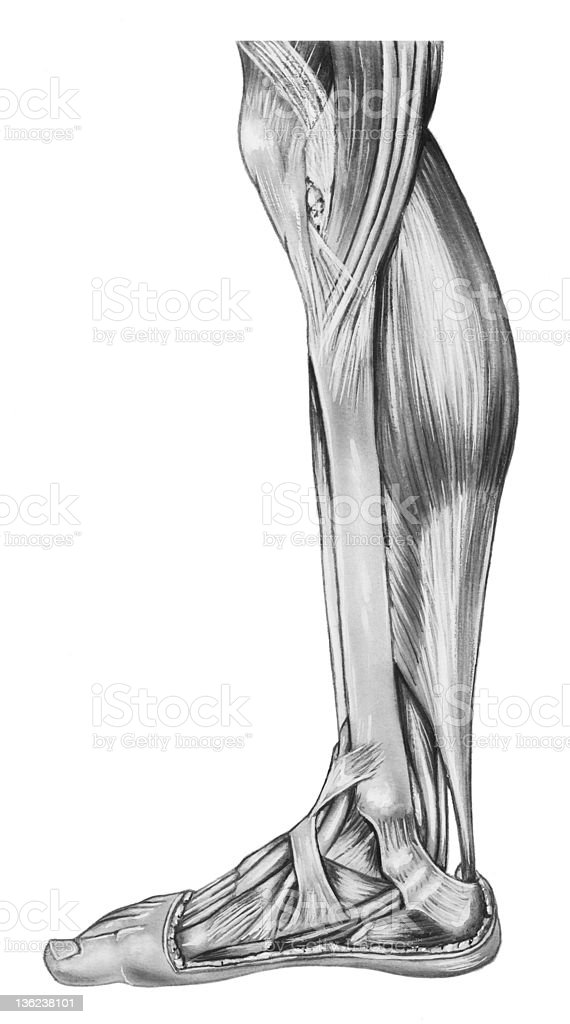 Leg - Lower anatomy vector art illustration