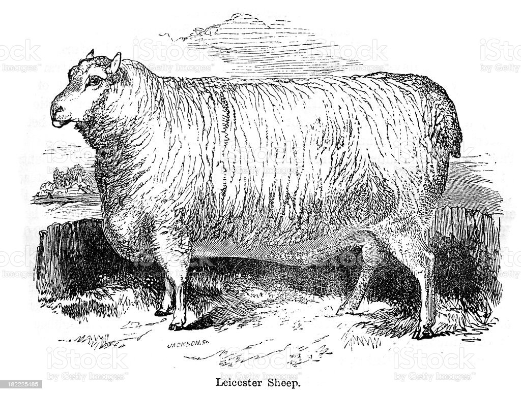 Leicester Sheep vector art illustration