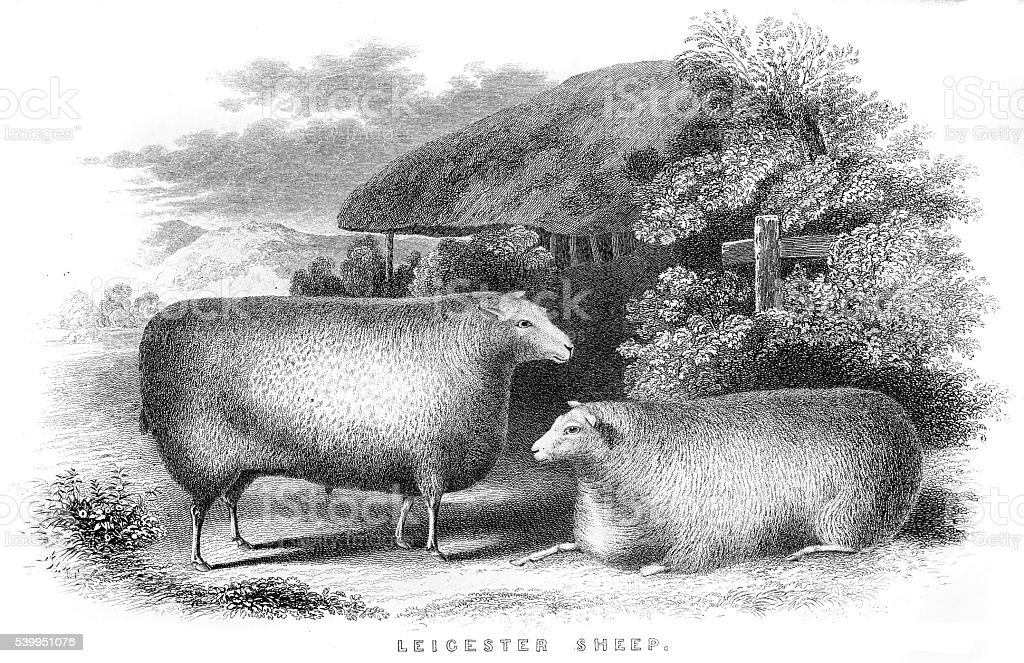 Leicester sheeps engraving 1850 vector art illustration