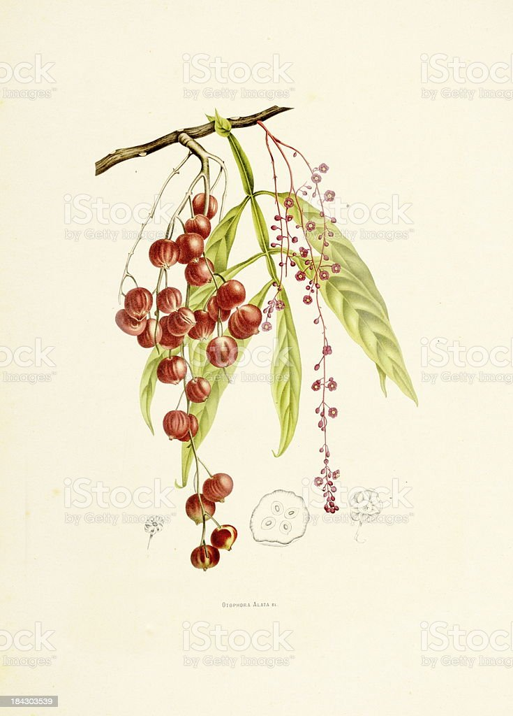 Lepisanthes Alata | Antique Plant Illustrations vector art illustration