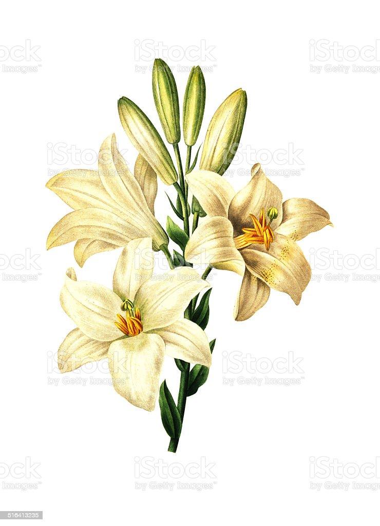 Lilium candidum   Redoute Flower Illustrations vector art illustration