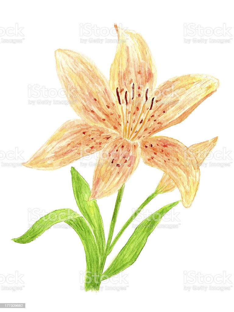 Lily Flower Watercolor royalty-free stock vector art