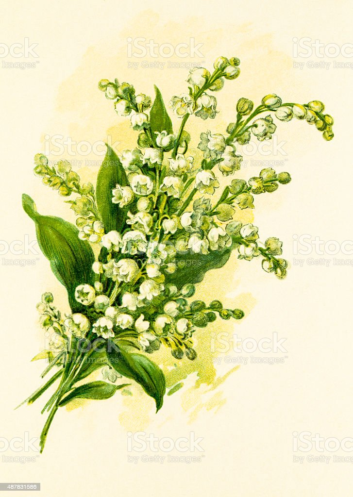 Lily of the valley 19 century illustration vector art illustration