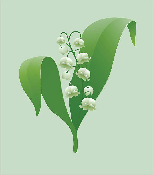 Lily Of The Valley Clip Art, Vector Images & Illustrations ...