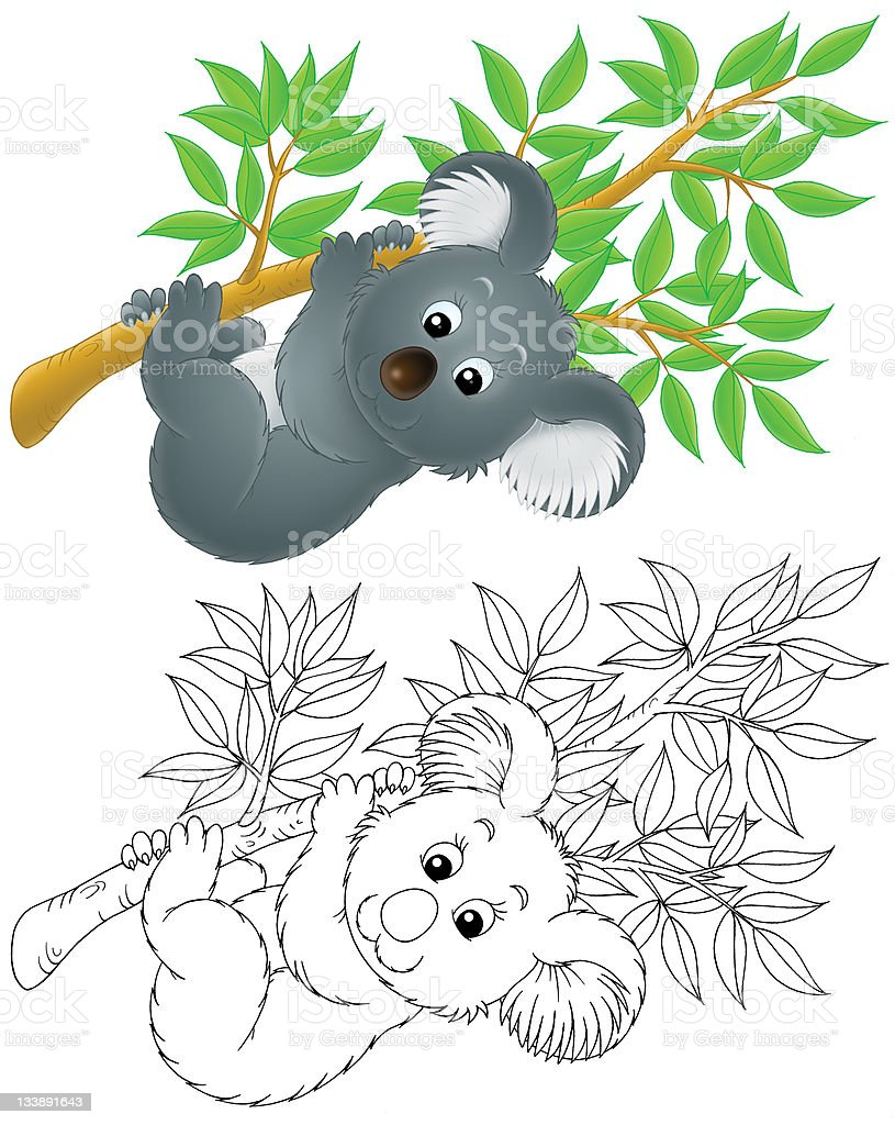 Linear and colored image of cartoon koala hanging on branch vector art illustration