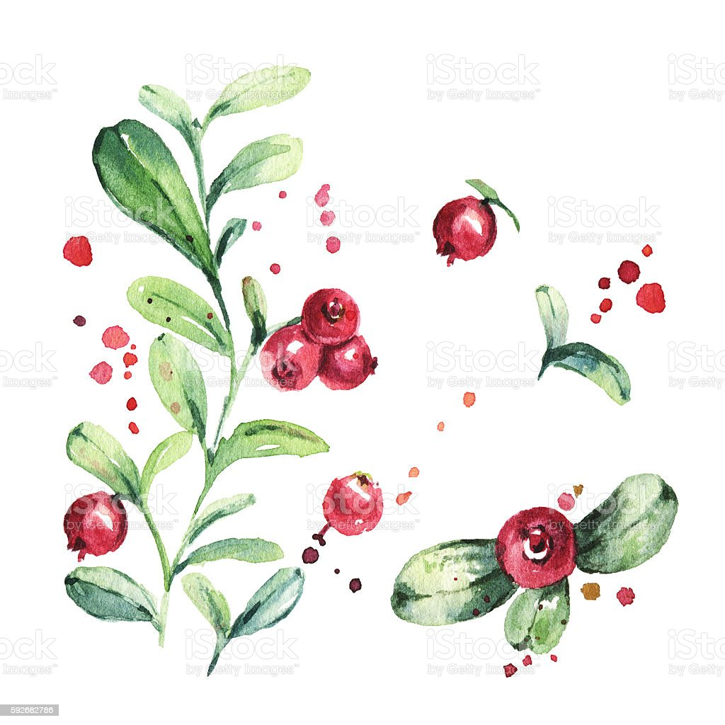 Lingonberry, foxberry, cowberry, cranberry. Watercolor painting vector art illustration