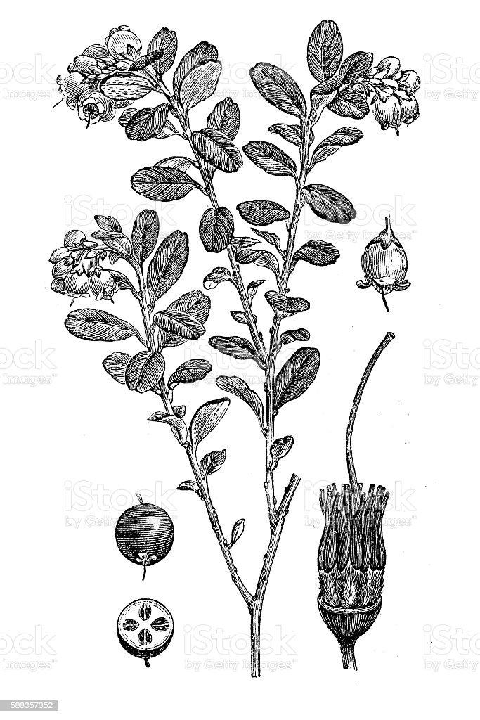 Lingonberry or cowberry (Vaccinium vitis idaea) vector art illustration