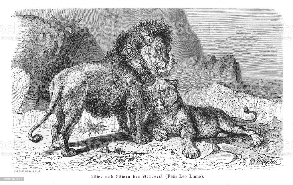 Lion and lioness engraving 1896 vector art illustration