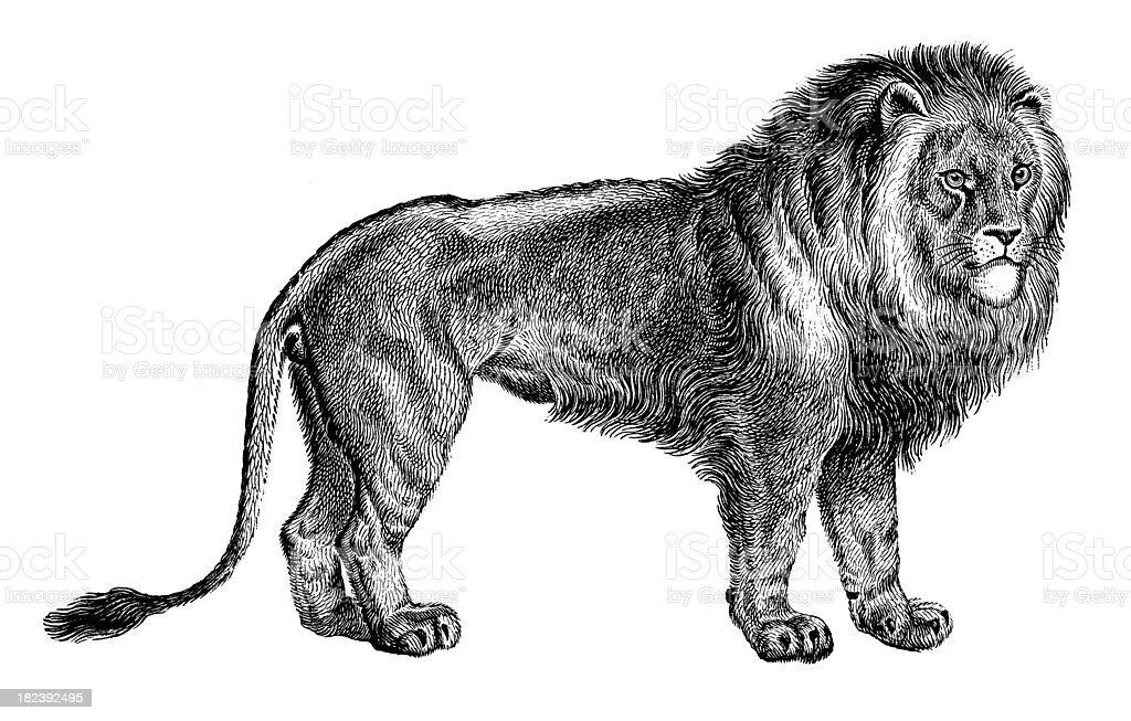 Lion   Antique Animal Illustrations royalty-free stock vector art